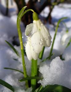 Подснежники: один день до весны